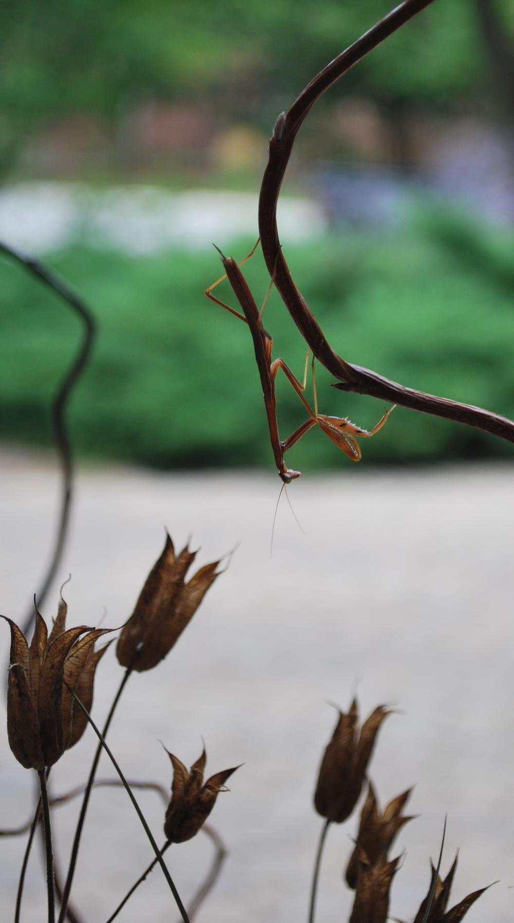 PH Praying Mantis.JPG