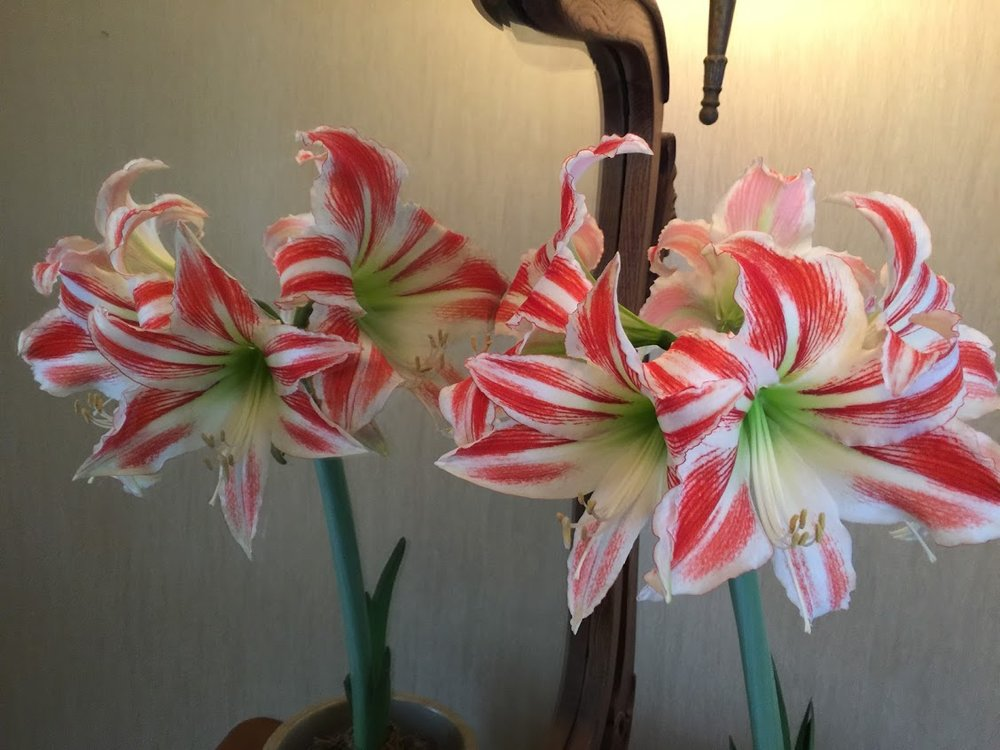 Amaryllis bulbs in winter and early spring are a fantastic way to enjoy gardening before the season begins. This bulb was a gift from Jack  de Vroomen from De Vroomen Gardens in Holland. He must have kissed it with his magic, as this is the third bloom! The first was in early March, 2 flower stalks with triple flowers. in April it bloomed for the second time, one single stalk with 6 flowers. Here we are in May, with the third bloom. One single stalk with six flowers again!!!!