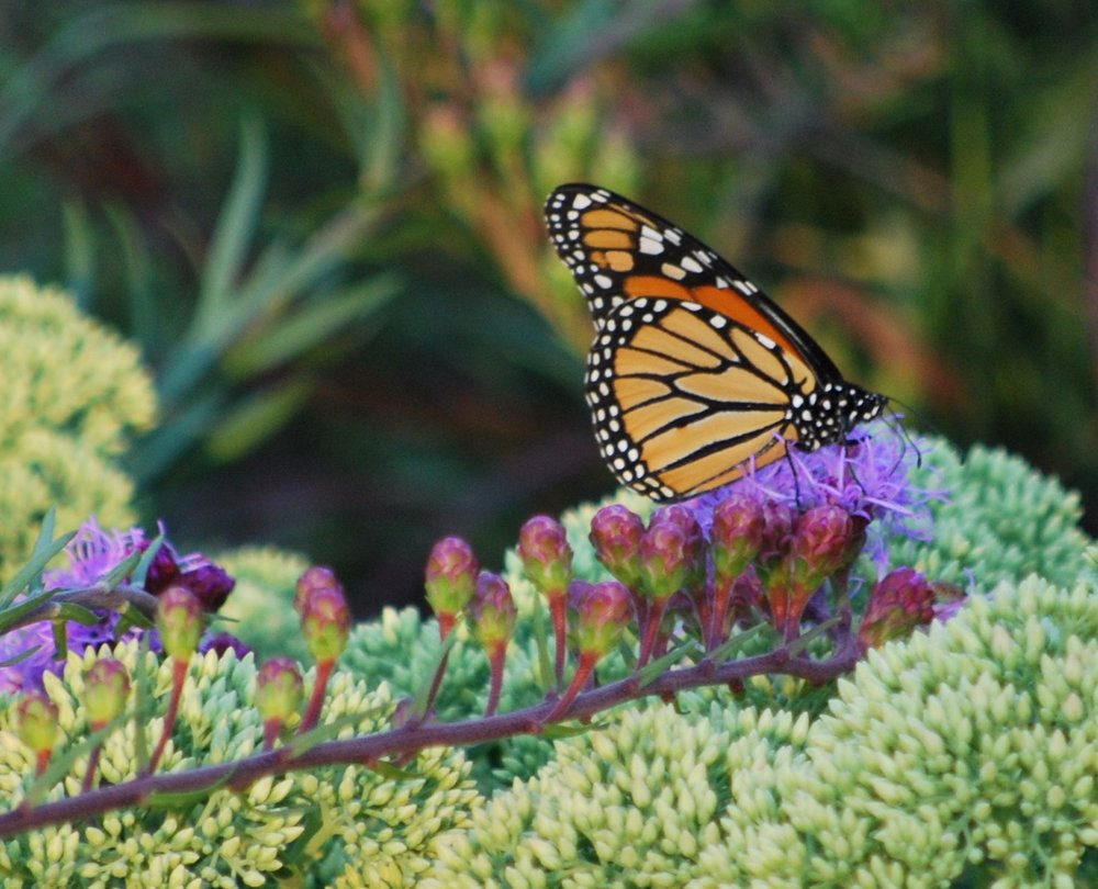 A few years ago, I purchased my first Liatris ligulistylis on the recommendation of the Native Plant Specialists from Pizzo Nursery. I was told it was the Ultimate Monarch Magnet. The very next summer, I raised my first Monarch, and truth be told, when I released him, he flew directly to this native Liatris. No kidding! Mother nature is so miraculous,  the first flower bloomed the very day my Monarch was ready for that sweet nectar. From that day forward, I had multiple Monarchs flittering around my garden all summer long. Last year we had a very wet spring, and to my dismay, the Liatris died off just as it was blooming, and it was a really sad year for the Monarch, so this year I couldn't miss the opportunity to purchase more Liatris from Pizzo at the ILCA Summer Days Event. They only had Liatris aspera, which is another favorite of the Monarch, so I happily purchased a dozen. On my way to the car with the plants, out of nowhere comes the first visitor, just as Jack Pizzo walked up, yes, this is true! The next day when I took the plants out of my car, guess what happened? You got it! A beautiful Monarch flew right over and rested on the flower. Can't help but love Mother Nature and her antics!