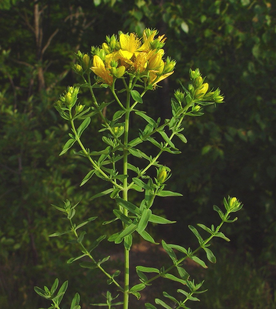 This is St. John (or Joan's) wort, Hypericum Perforatum. Notice it's upright stalk and tiny yellow flowers. When held up to the light you can see the that the flower's petals are perforated with tiny little holes.