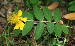 This is Hypericum Calycinum (creeping St. John's wort) which is a common ground cover in gardens in North America. It has antibacterial properties but cannot be used interchangeably with Hypericum Perforatum.