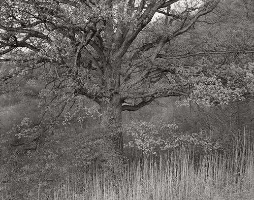 """© George Tice. """"Oak Tree, Holmdel, NJ 1970"""""""