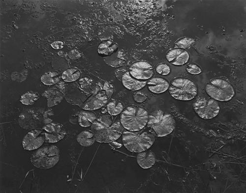 George Tice, Aquatic Plants #8, Helmetta, NJ, 1967, Platinum/ palladium print. Courtesy the artist and Nailya Alexander Gallery, New York.