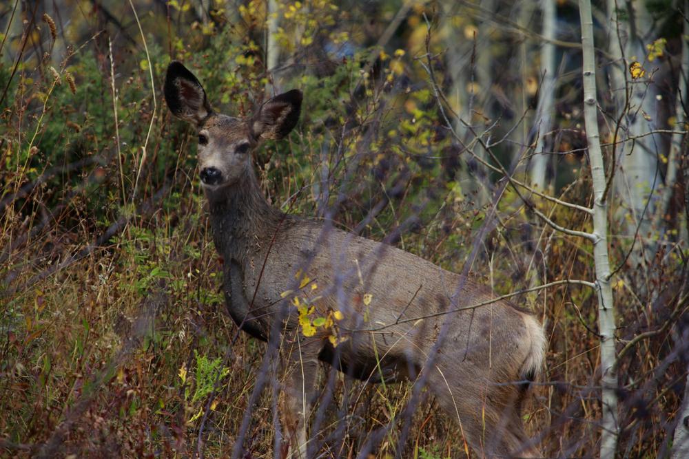 deer looking at me through the trees.jpg