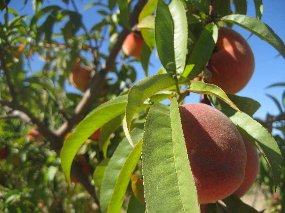 New Haven Peaches, our earliest ripening variety and newest addition to the orchard.