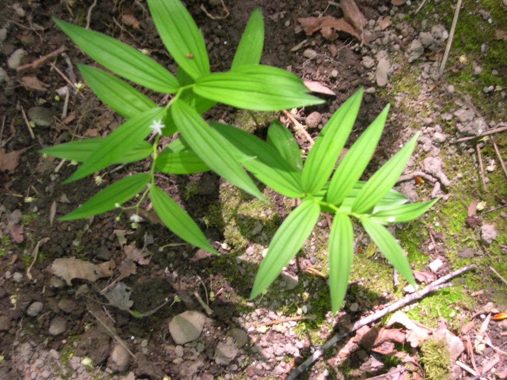 FALSE SOLOMON'S SEAL SMILACINA STELLATA