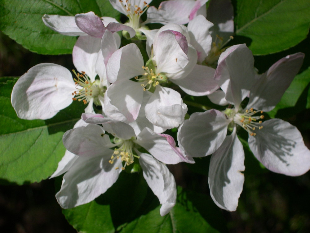 APPLE MALUS SPECIES