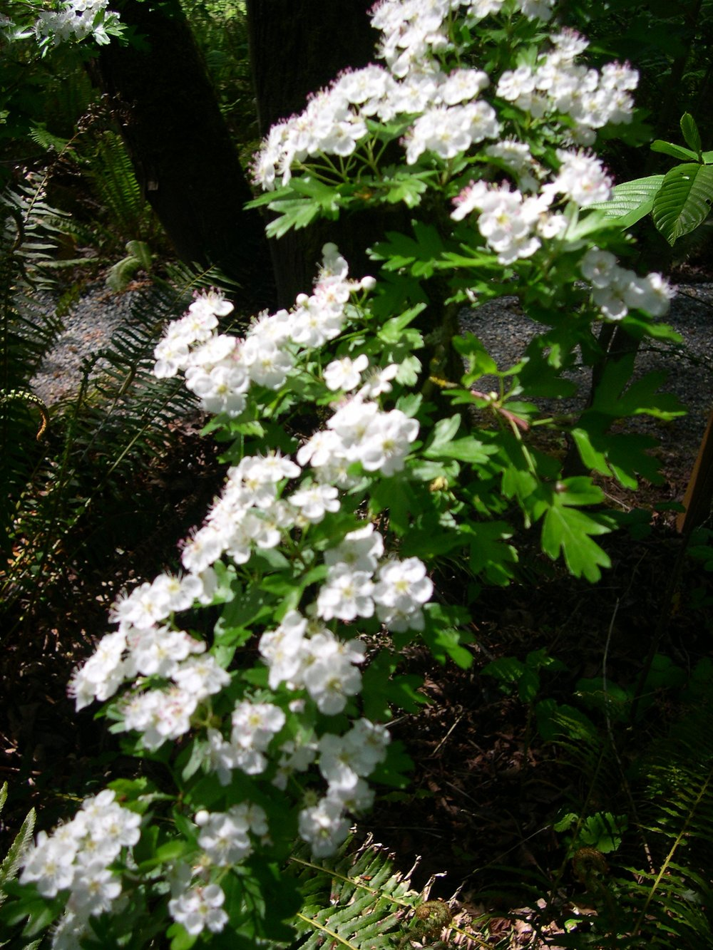 HAWTHORN CRATAEGUS SPECIES.JPG