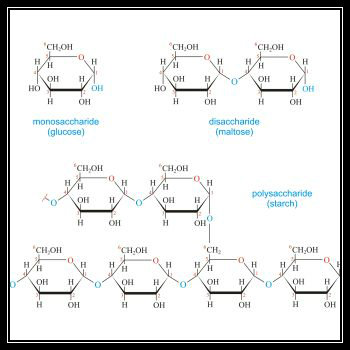 Chemical structure of monosaccharides, disaccharides and polysaccharides. Image from:  E. Generalic,   http://glossary.periodni.com/glossary.php?en=carbohydrate