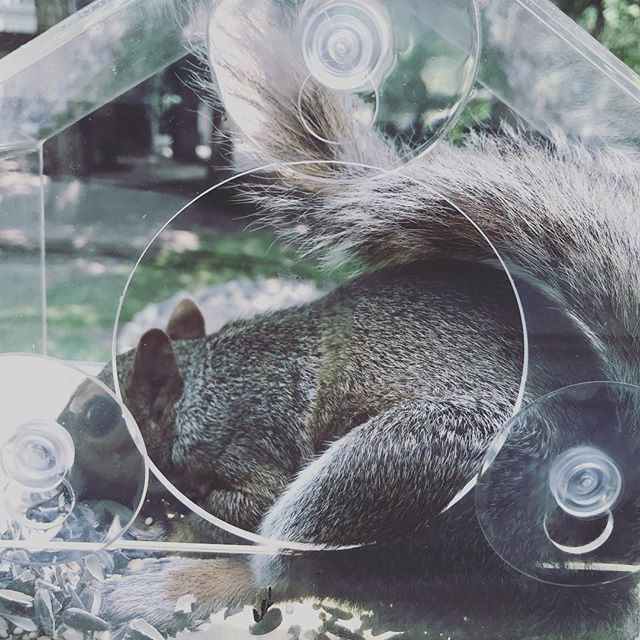 So much for a squirrel proof feeder. #squirrel #wildlife