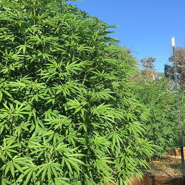 Ellis D is lookin proper in our garden.  She's a beaut!  #mmj #outdoorgardens #organicallygrown #modernfunk #monstersgrows #marijuana #thc #weedstagram #420 #dablife #marijuanaleaves
