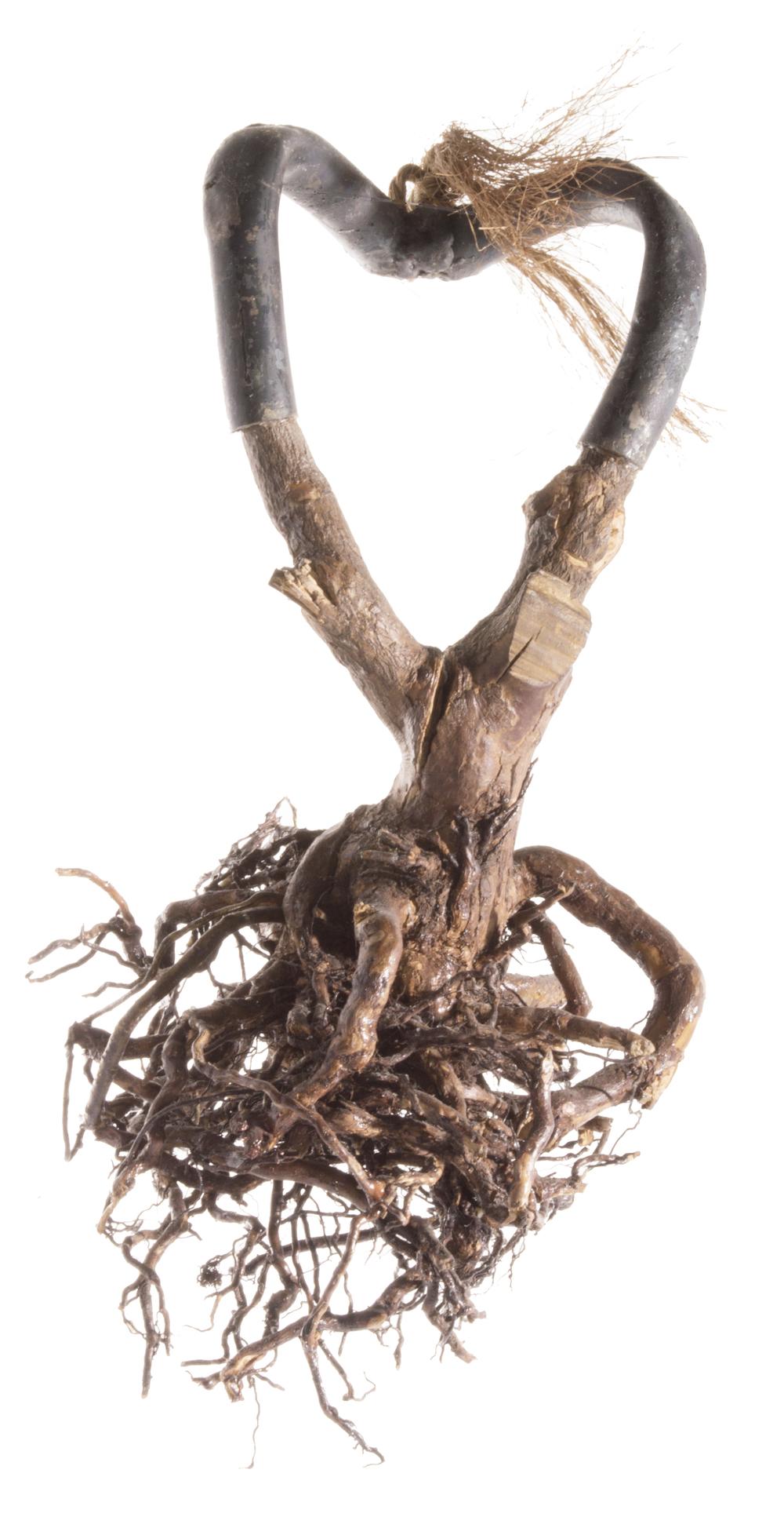 Roots B 2003
