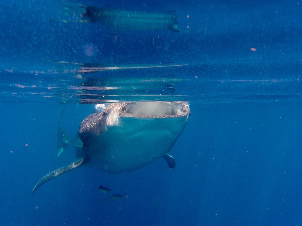 En hvalhai utenfor Cancun, Mexico