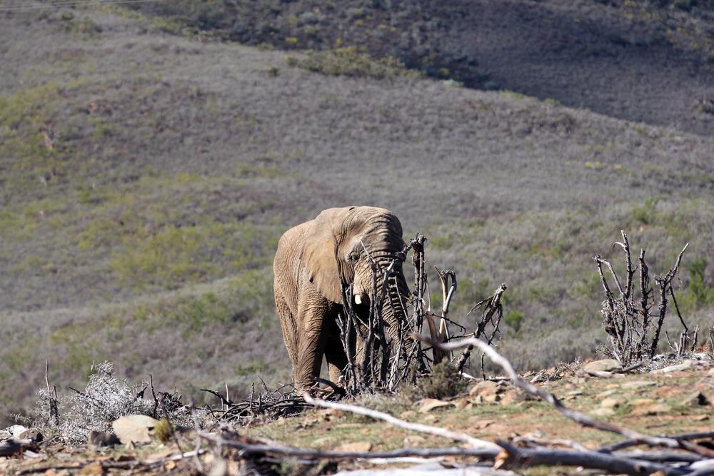 En elefant i Fairy Glen Park, Sør Afrika