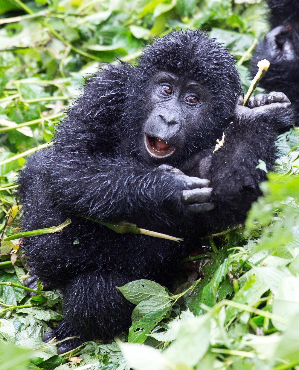 En gorilla i Impenetrable forest, Bwindi, Uganda