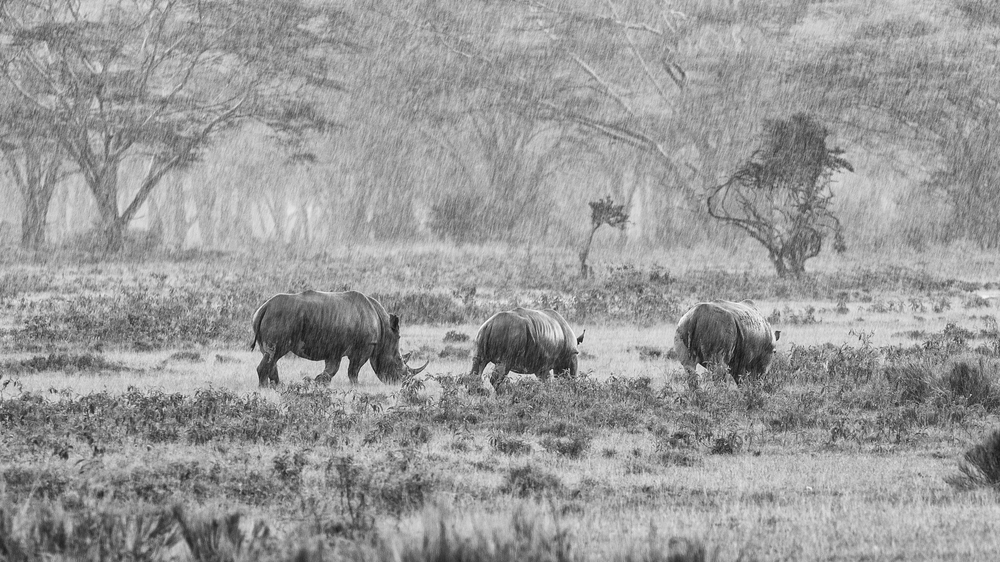 Hvite nesehorn i regnvær, Lake Nakuru National park, Kenya