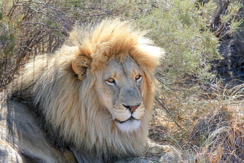 En løve koser seg i skyggen, Fairy Glen park, Sør Afrika