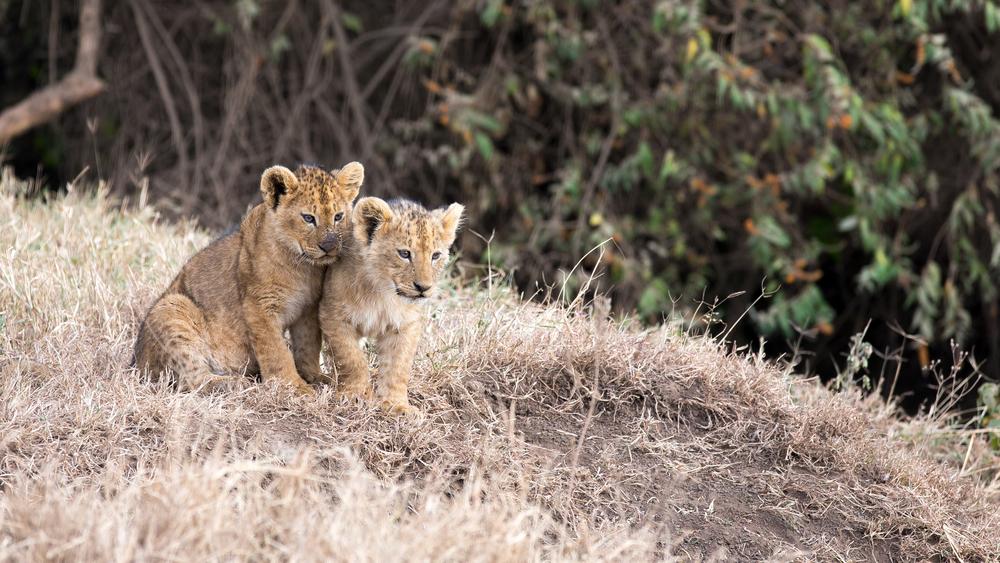 To løvunger i Ngorogoro krateret i Tanzania