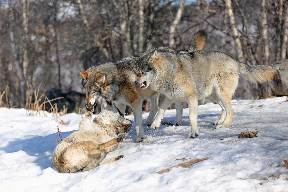 Norske ulver, Langedrag