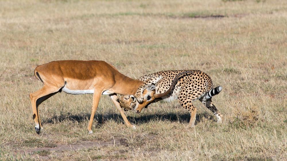 En gepard får tak i en impala i Masai Mara, Kenya