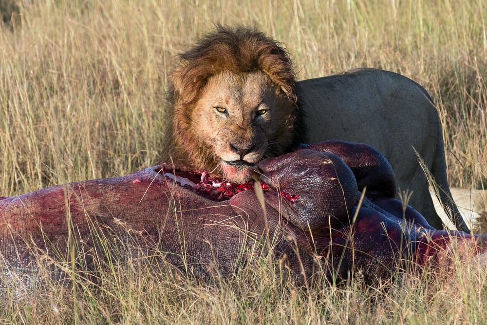 Tidenes ondeste blikk fra en løve. Masai Mara, Kenya