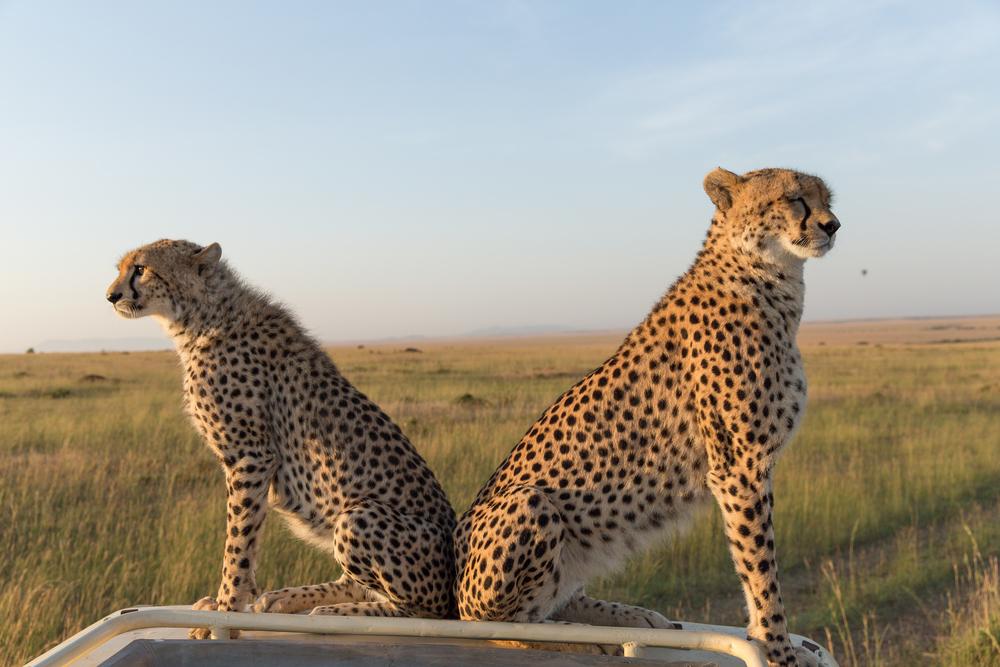 To geparder på taket av safaribilen vår. Masai Mara, Kenya
