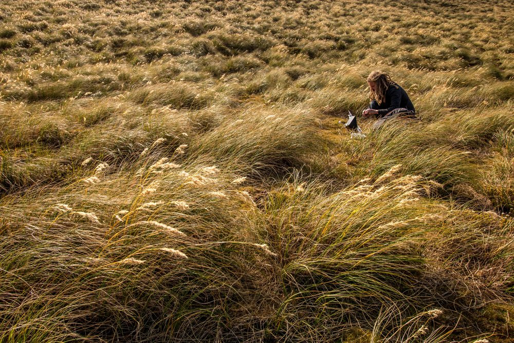 lower q tussock.jpg
