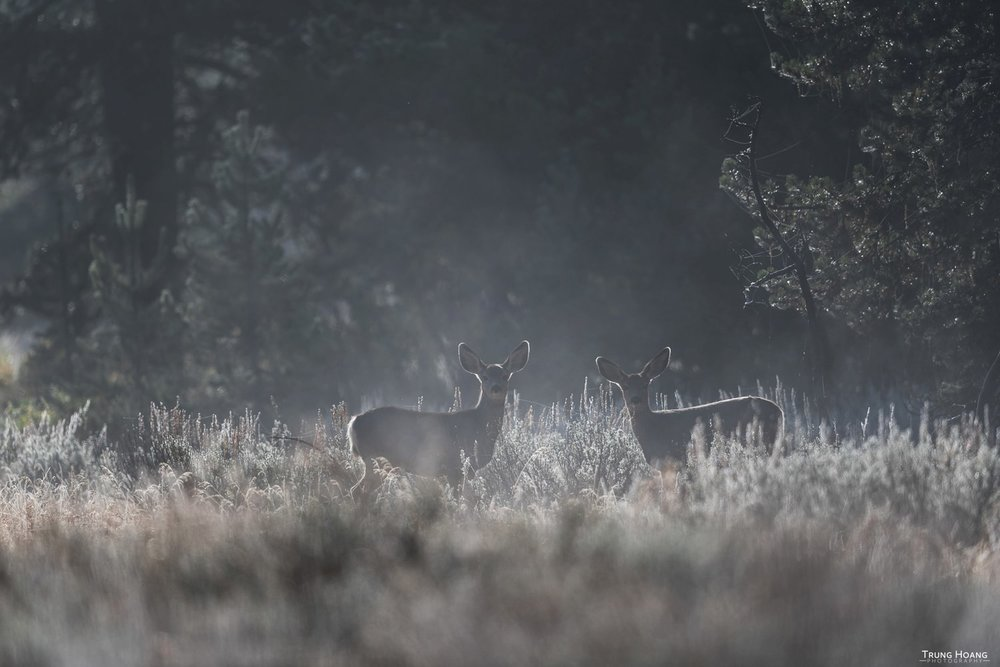 Mule Deer in the Mist