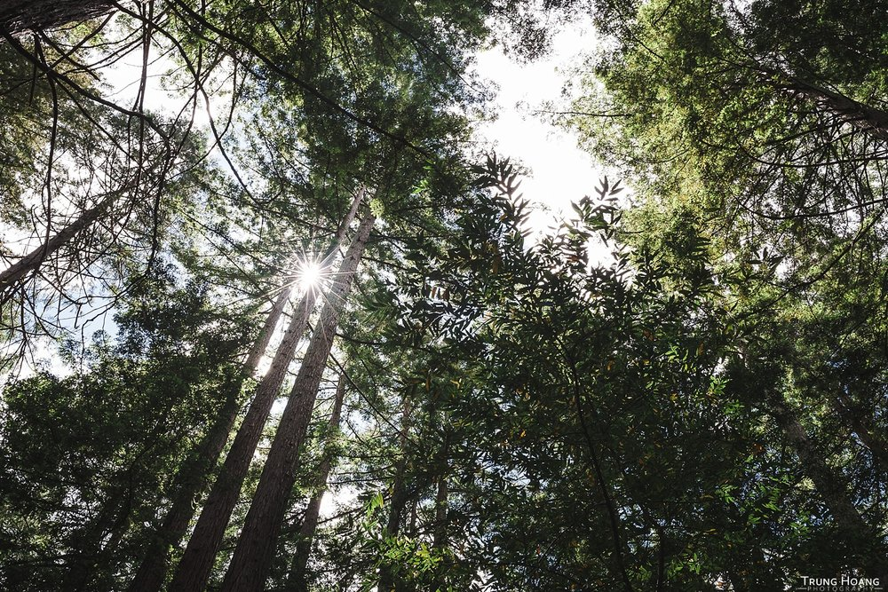 Sunstar through the Redwoods