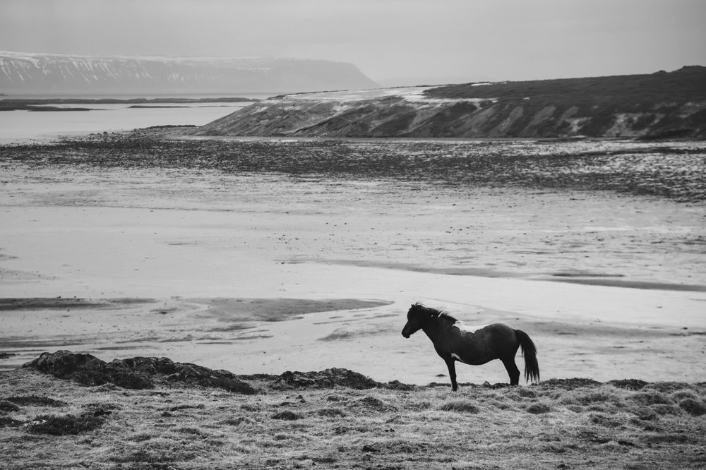 Icelandic Horse - Iceland Blog Part II