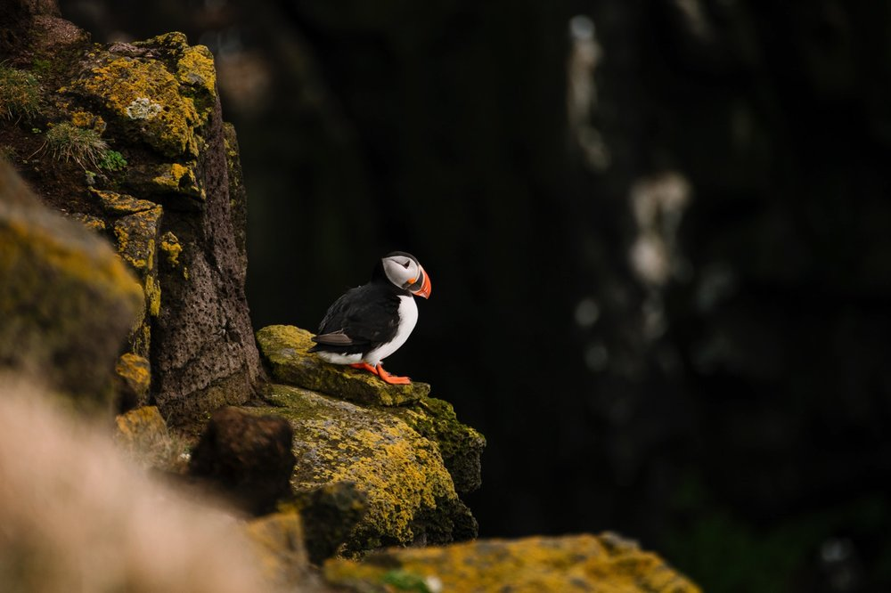 Puffins of Latrabjarg - Iceland Blog Part II