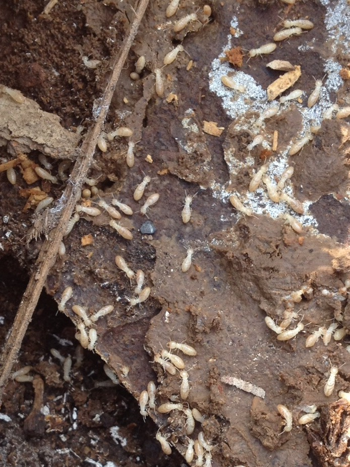 Termites   Rentokil do paper termites eat
