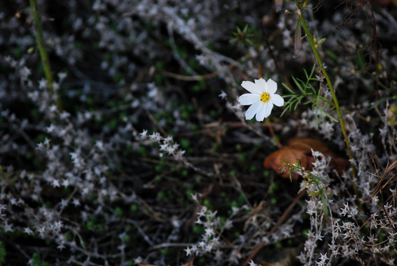 White Cosmos Flower Rising out of Dark Earth and Silver Moss - Purchase a Print at my Etsy.com Store!