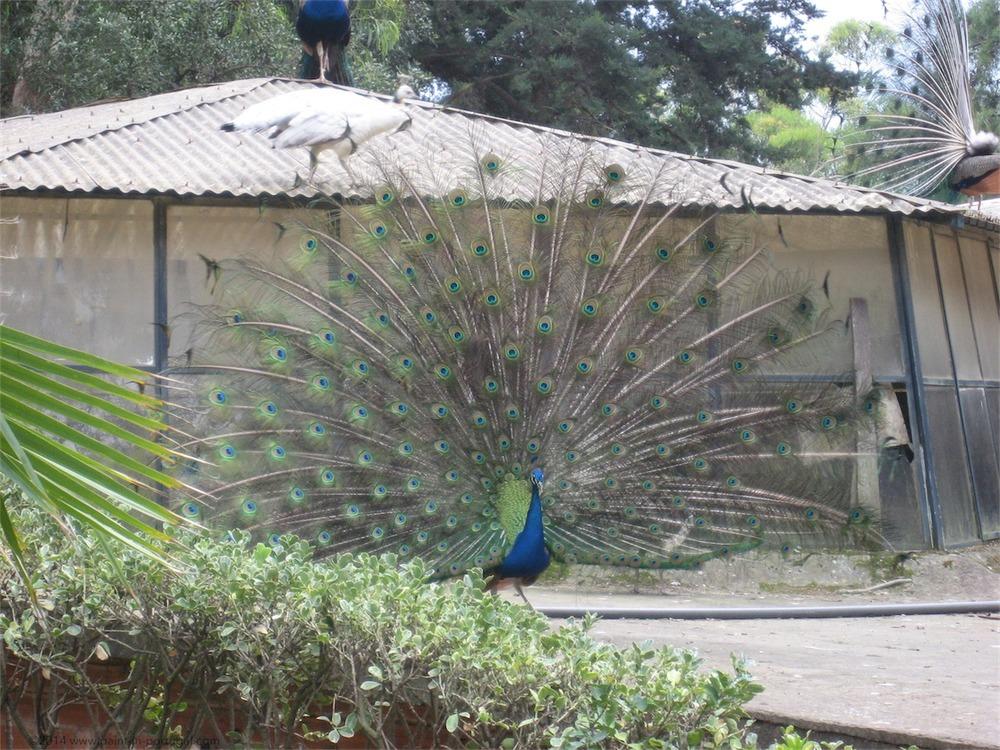 Peacock at Mal. Carmona's park, Cascais