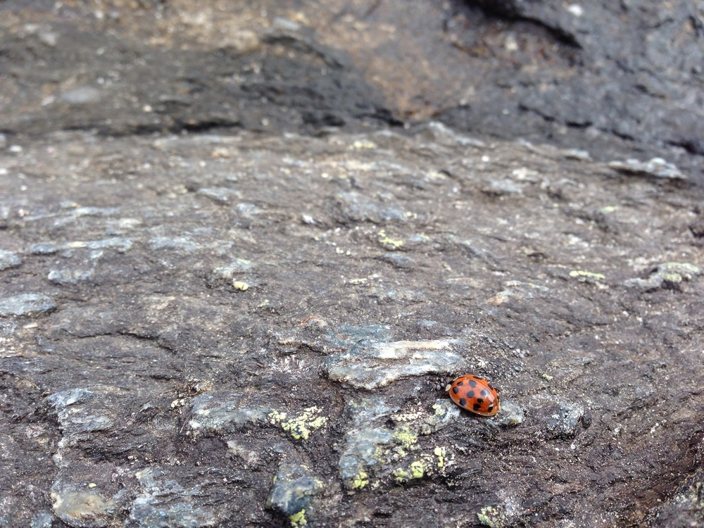 Lady bug on Mount Washington