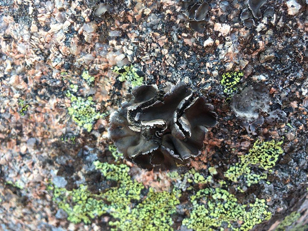 black moss lichen