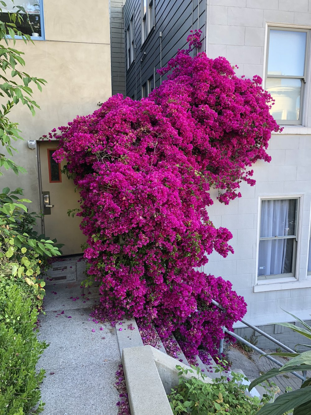 Bougainvillea thrives in San Francisco.