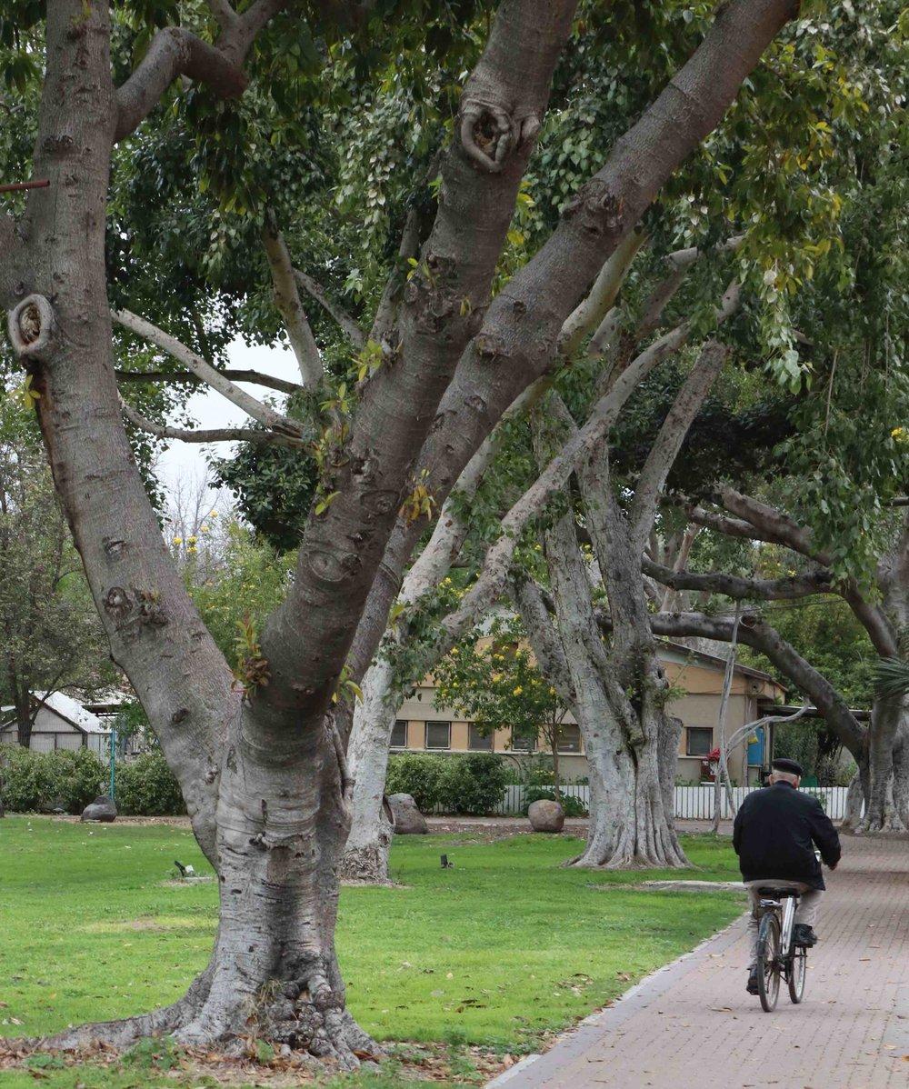 Man rides bike through peaceful Kibbutz Sha'ar Ha'Golan.