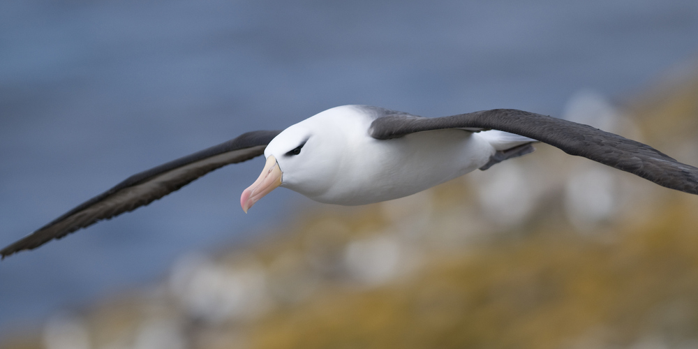 help us Save the Albatross