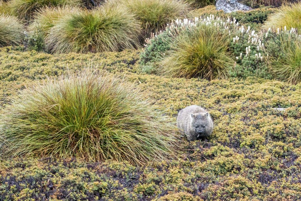 Overland Track, Tasmania, Cradle Mountain-Lake St Clair National Park, Hiking