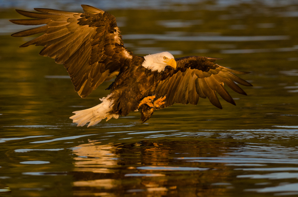 A bald eagle fishing at sunset