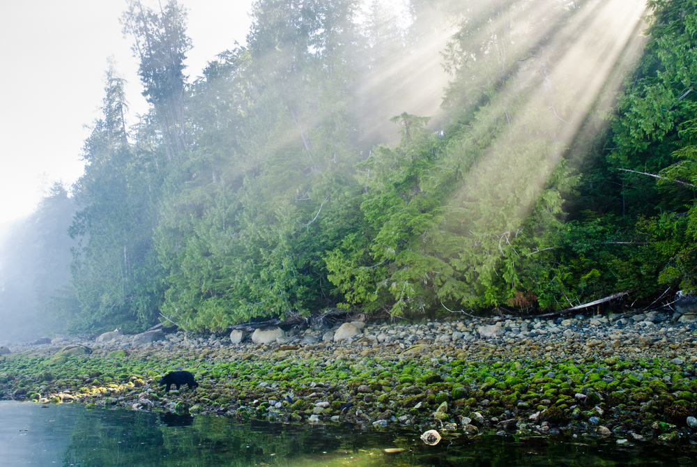 A black bear searches for crabs on the rocky shore whilst the sun burst through a fog filled forest.
