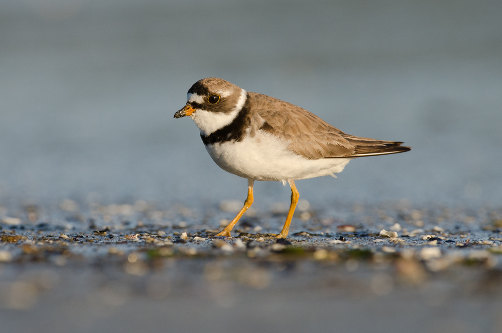 A semipalmated plover
