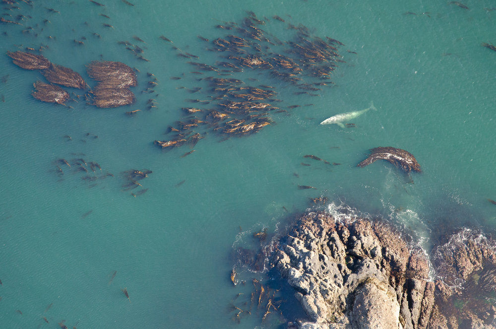 A gray whale takes a break at the surface whilst feeding amongst a vast kelp forest.