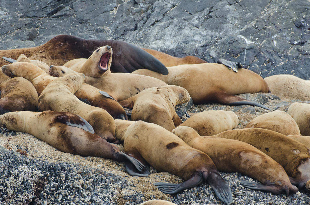 A group of female stellar sea lions