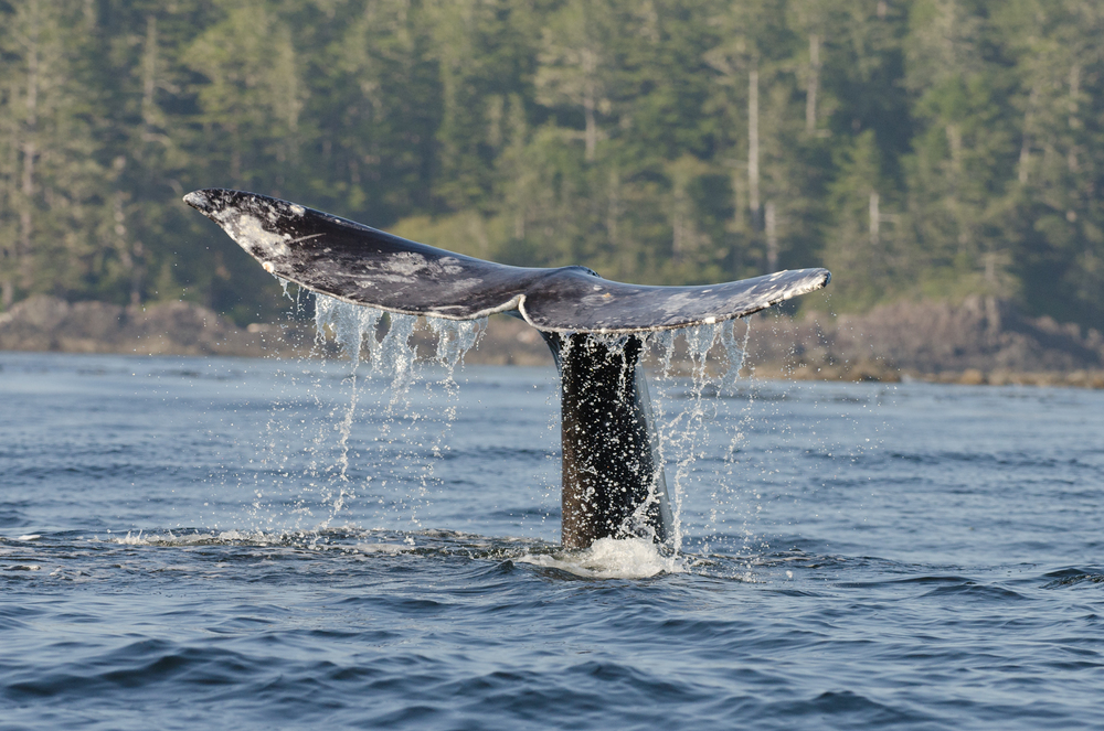A gray whale diving to the seabed.