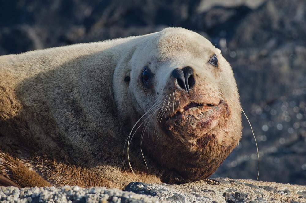 A stellar sea lion bull