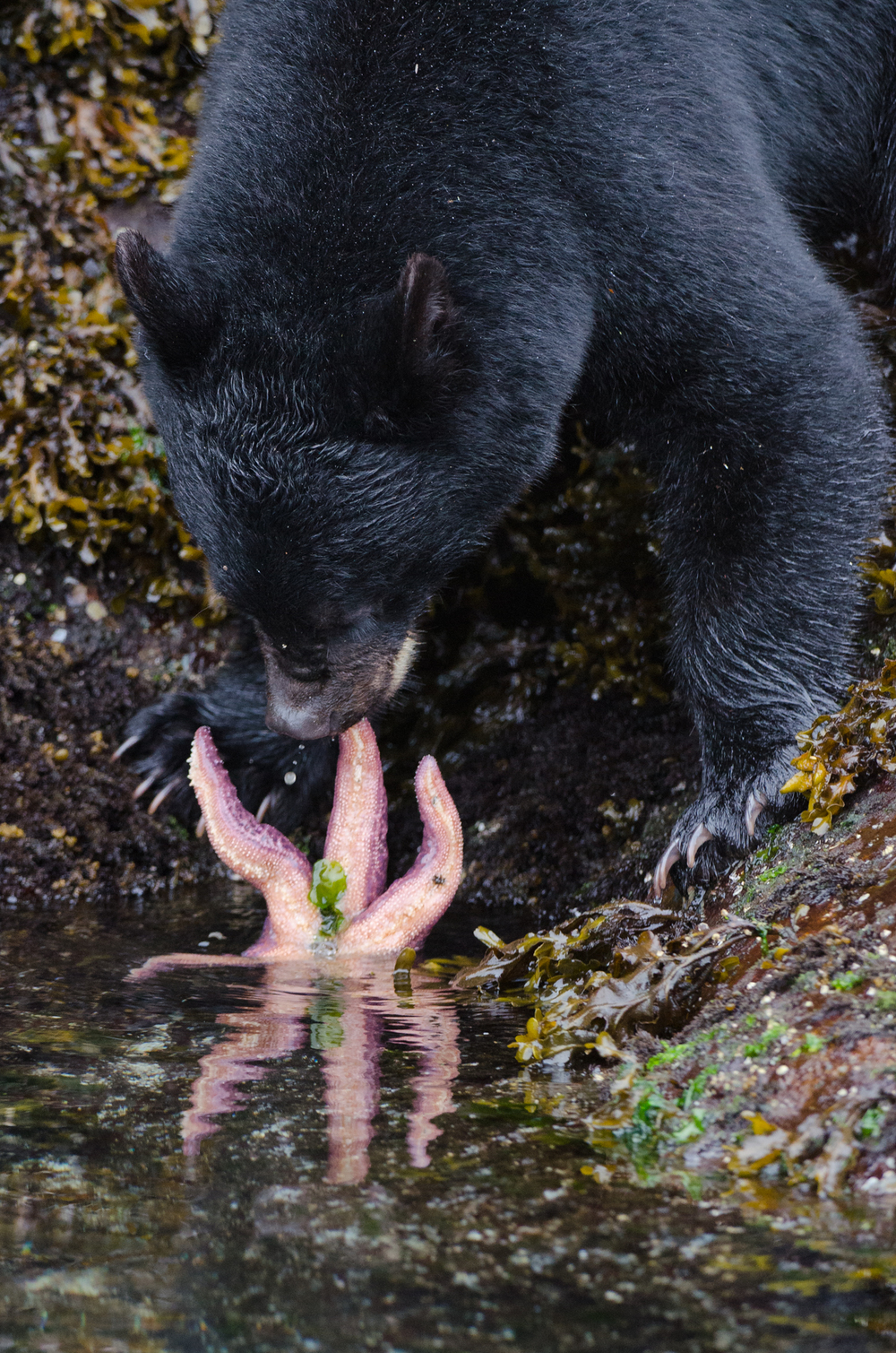 A yearling black bear attempts to eat an inedible starfish.