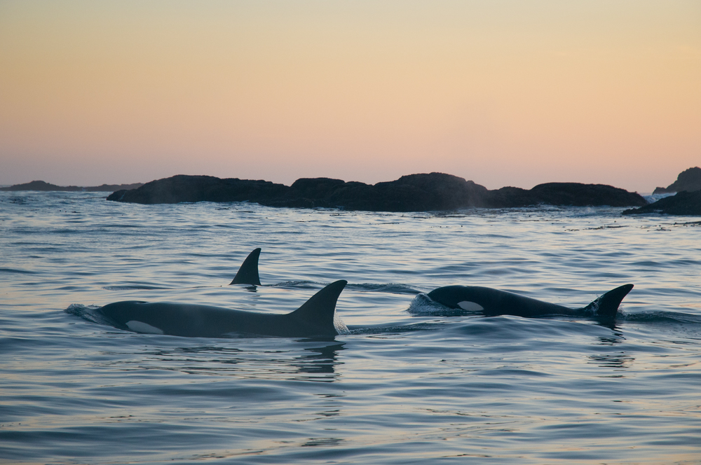 3 transient orcas track the coastline in search of marine mammals just after sunset.