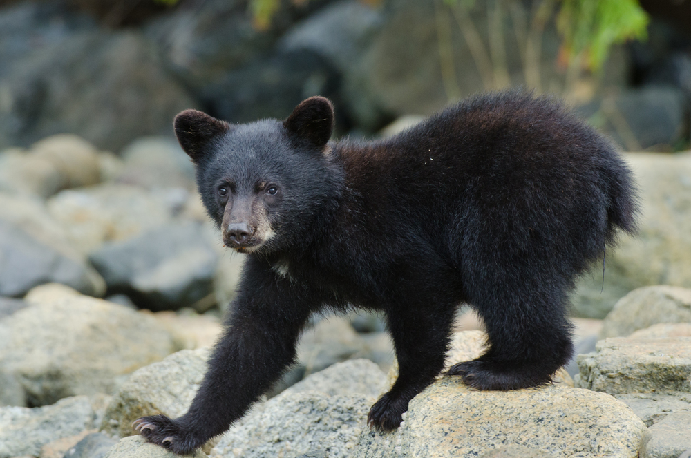 A 7-month-old black bear cub curious of a mysterious shutter noise.